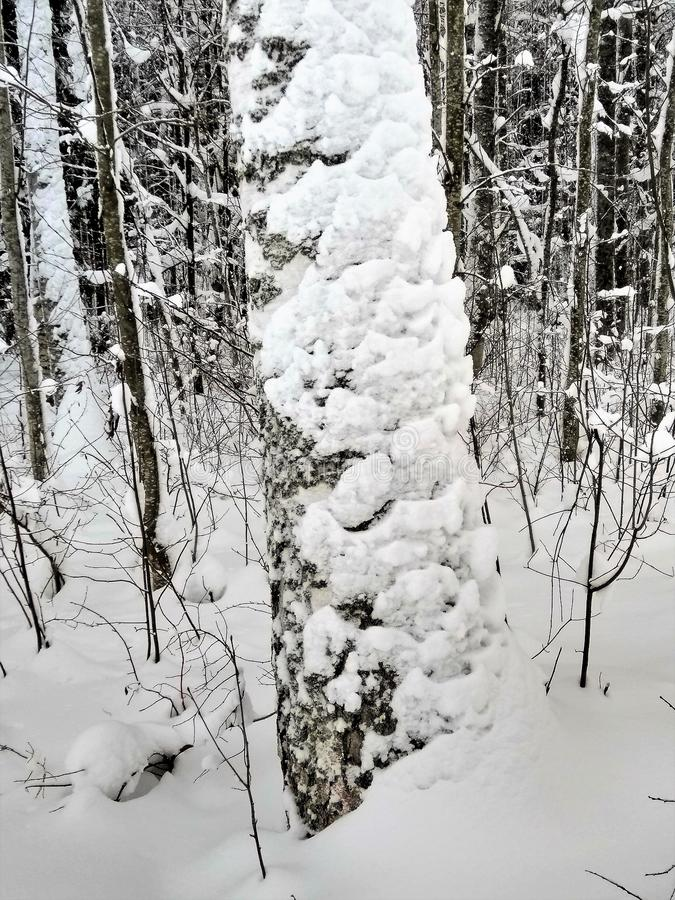 View of a snowy birch tree in a winter forest royalty free stock images