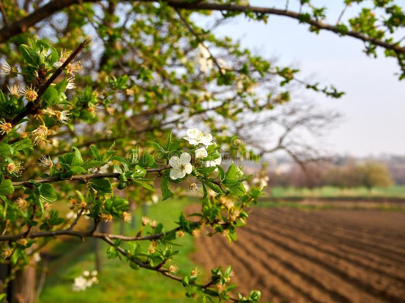 View of spring landscape with blossoming tree branches, plowed land and grass. Fields and meadows under blue sky with sunlight royalty free stock photos
