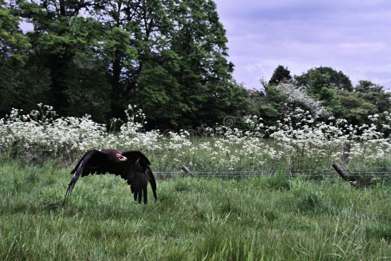 A view of a Steppe Eagle in flight. In the wild in Shropshire stock photos