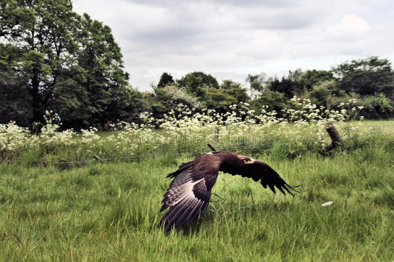 A view of a Steppe Eagle in flight. In the wild in Shropshire royalty free stock photo