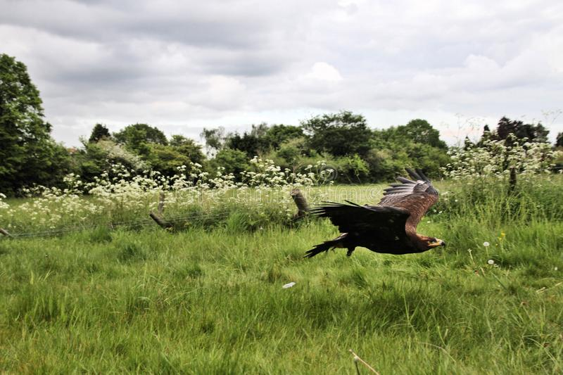 A view of a Steppe Eagle in flight. In the wild in Shropshire royalty free stock image