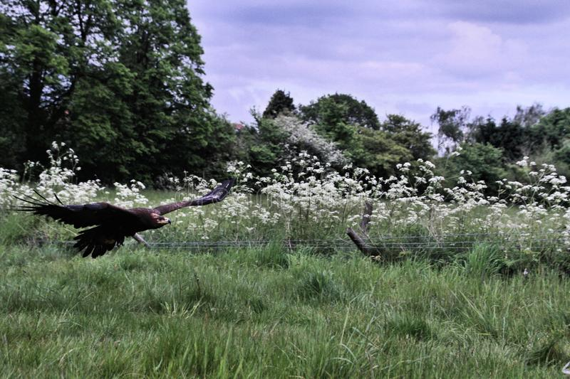 A view of a Steppe Eagle in flight. In the wild in Shropshire royalty free stock photography