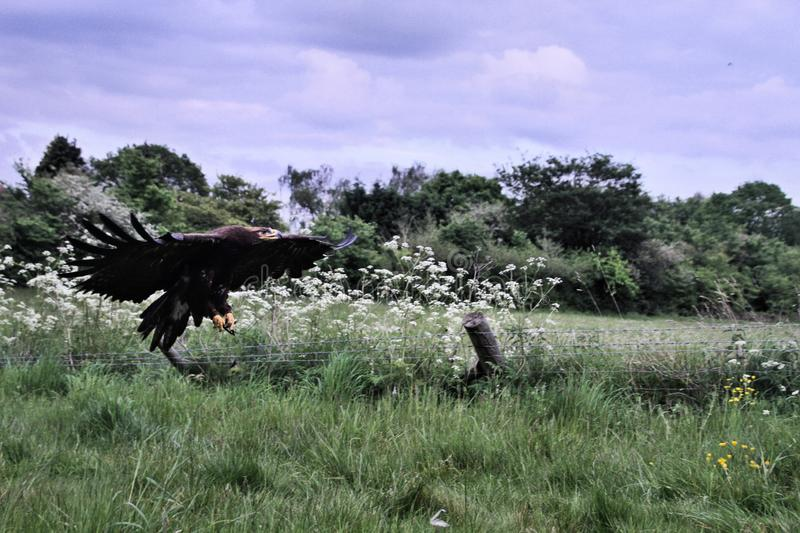 A view of a Steppe Eagle in flight. In the wild in Shropshire stock images
