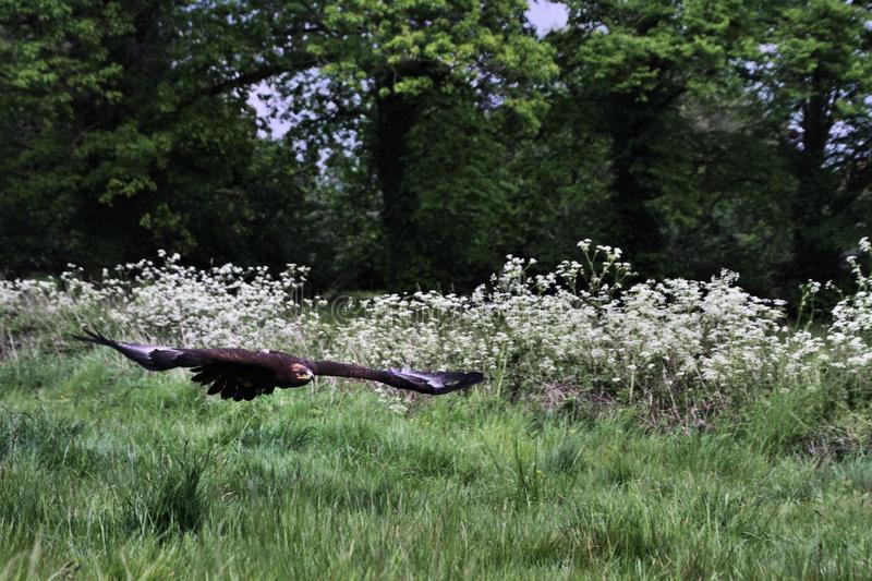 A view of a Steppe Eagle in flight. In the wild in Shropshire royalty free stock images