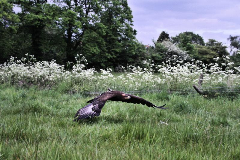 A view of a Steppe Eagle in flight. In the wild in Shropshire stock image