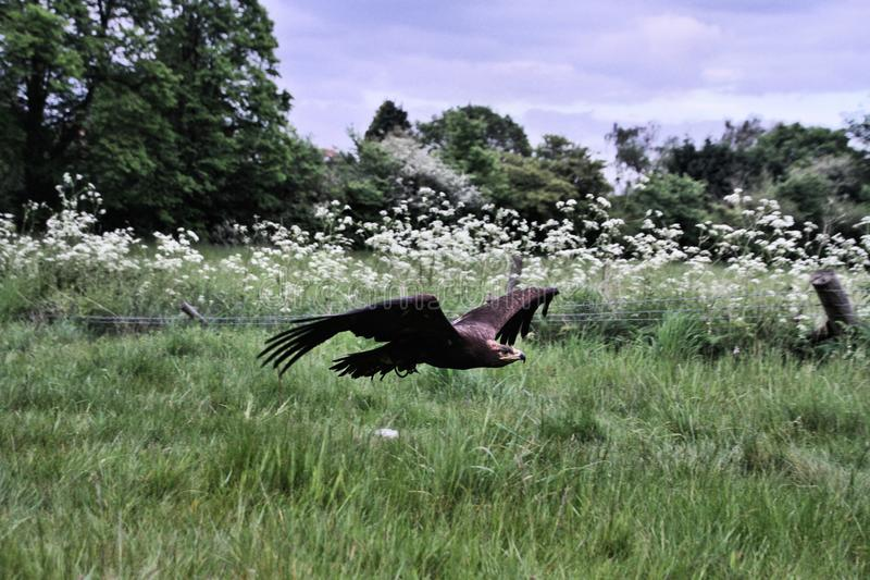 A view of a Steppe Eagle in flight. In the wild in Shropshire stock photography