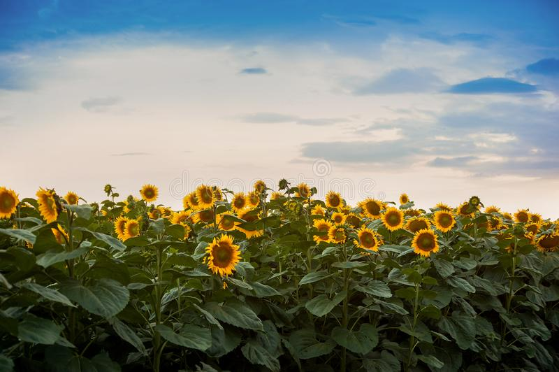 View on sunflower field with cloudly sky. View on sunflower field with cloudly evening sky stock images