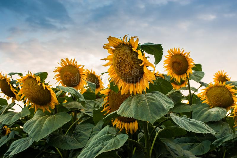 View on sunflower field with cloudly sky. View on reached sunflower field with cloudly sky royalty free stock photos