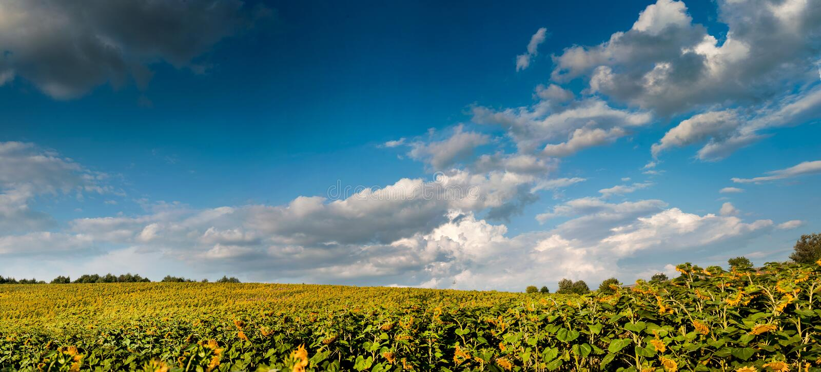 View on sunflower field with cloudly sky. Panoramic view on sunflower field with cloudly sky royalty free stock image