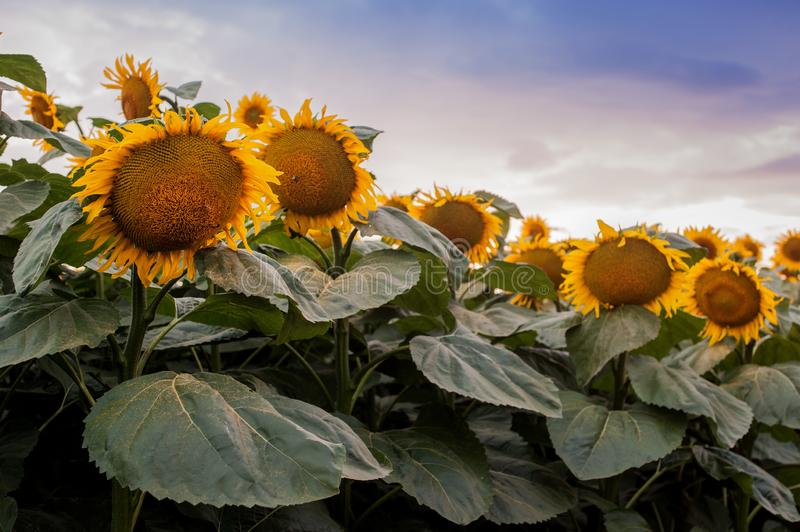 View on sunflower field with evening sky. Panoramic view on sunflower field with sky royalty free stock photos