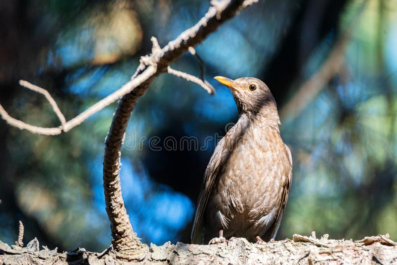 Cute female Common blackbird or Turdus merula perches on twig royalty free stock images