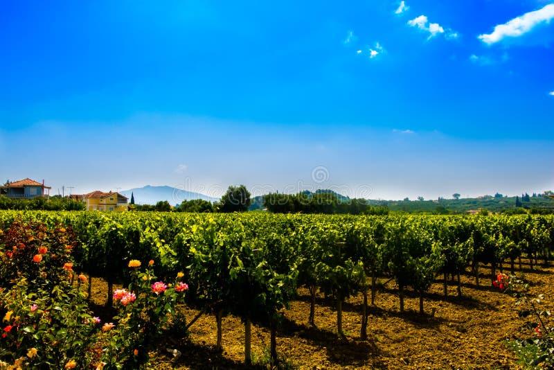 Sunny vineyard on Zakynthos Island, Greece stock images