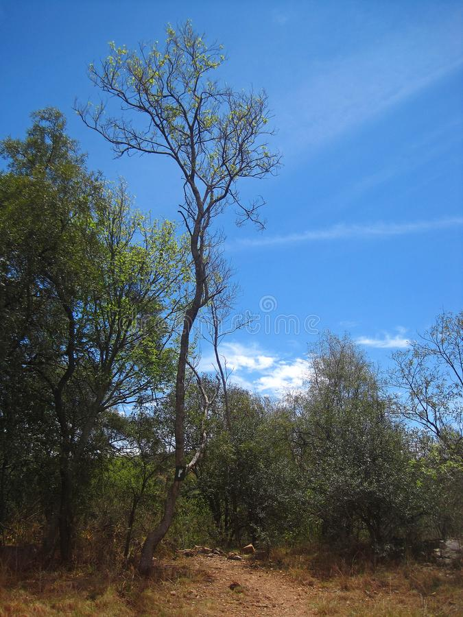 TALL THIN TREE WITH GREEN FOLIAGE AT THE TOP royalty free stock images