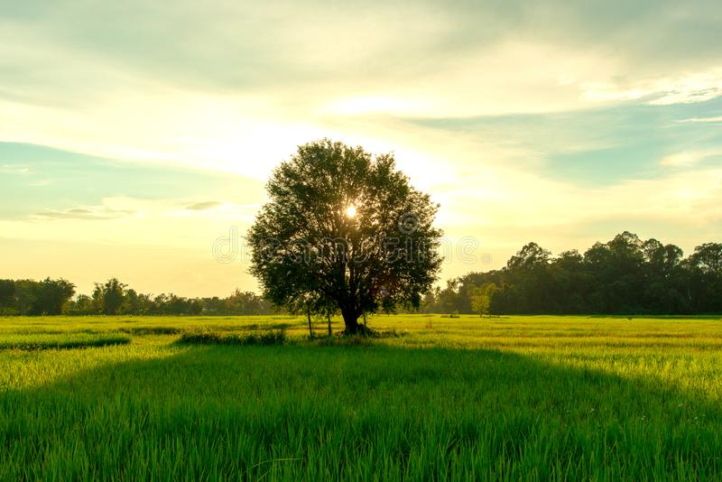 View of tamarind tree in green rice field and evening time royalty free stock photo