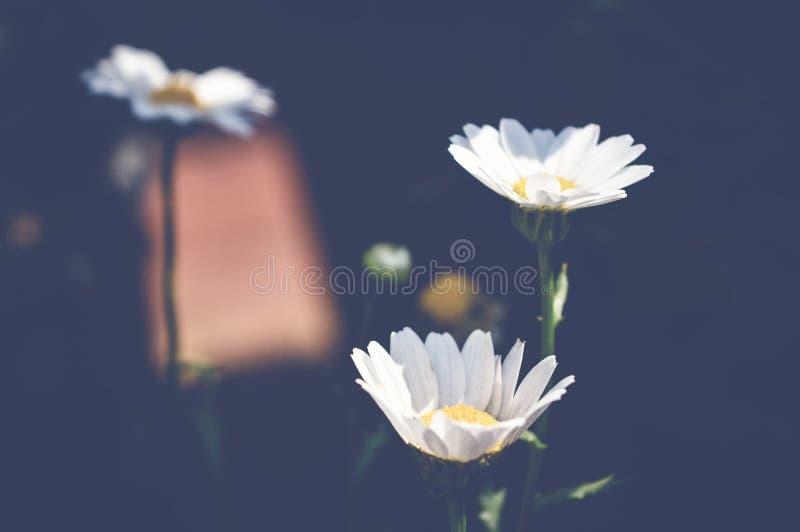 View of tanacetum parthenium, feverfew flowers, spring background stock photo