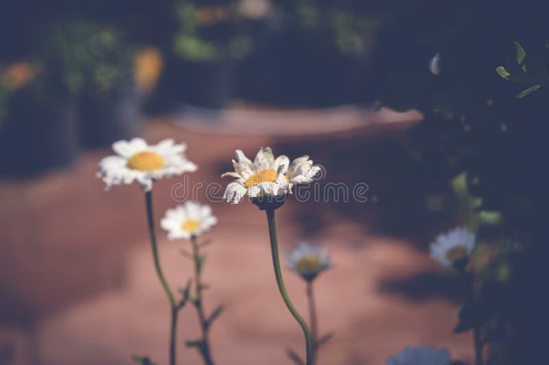 View of tanacetum parthenium, feverfew flowers, spring background. Tanacetum parthenium, feverfew flowers, spring background royalty free stock photos