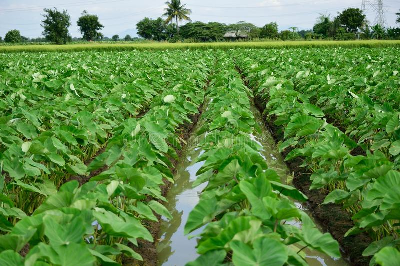 A view of Taro fields stock image