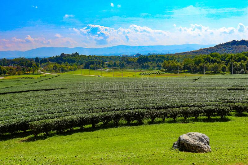 View of tea garden in northern Thailand. royalty free stock photography