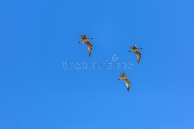 View of three seagulls flying in the clean and blue sky royalty free stock photo
