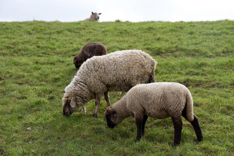 View on three sheeps feeding grass in rhede ems emsland germany. And photographed during a walk in the nature at a cloudy day stock images