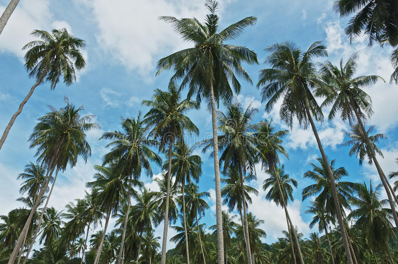 View to the coconut trees plantation at Koh Samui, Thailand. Coconut farming is traditionally one of the most important businesses at Koh Samui stock photo