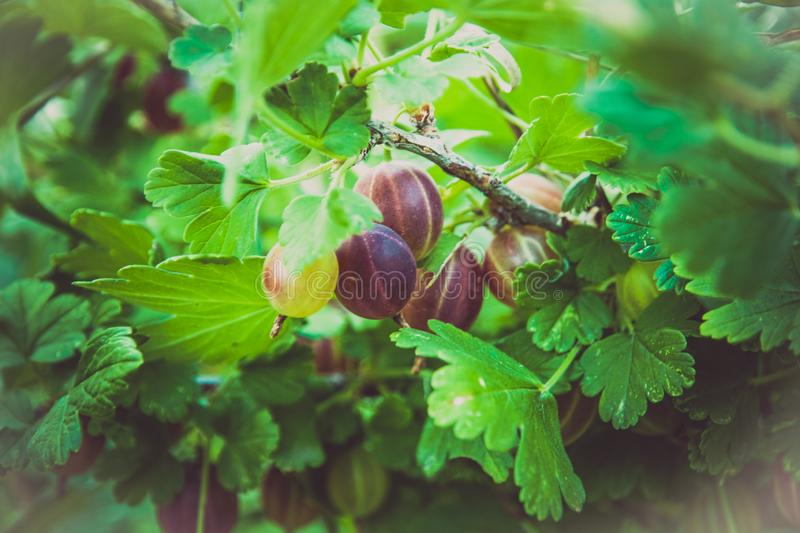 View to fresh green gooseberries on a branch of gooseberry bush in the garden.  royalty free stock images