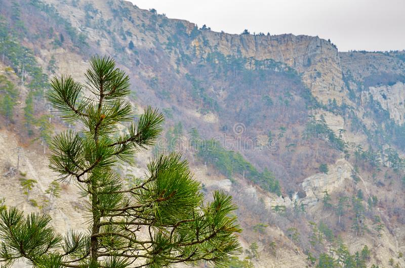 View to rocky mountainside and top pine tree. Landscape with view to forest at scenic south rocky slope of crimean mountain plateau Ai-Petri. Green top pine tree royalty free stock photography