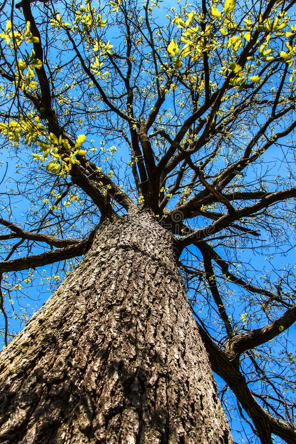 View to the top of an oak tree in spring. Branches of a mighty oak tree against a blue sky royalty free stock photo