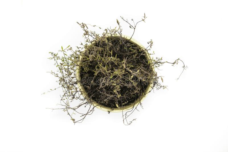 View from top of dried thyme shrub planted in a clay pot and isolated of white background stock photos