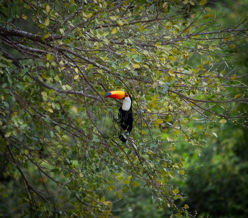 Toucan toco sitting on the tree royalty free stock photo