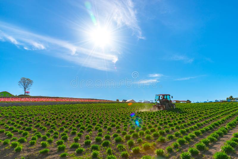 View of a tractor and planting implement cultivating flower field in a beautiful sunny day. In springtime royalty free stock photos