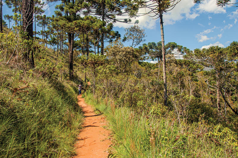 View of trail with people in pine forest at the Horto Florestal, near Campos do Jordão. royalty free stock photography