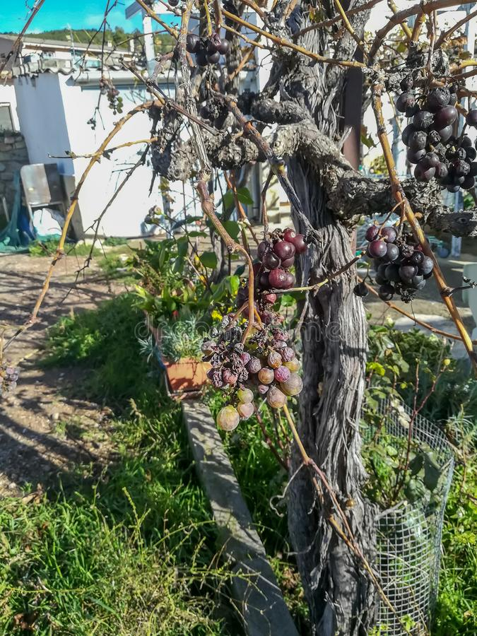 View of tree of grapes with fruits royalty free stock photography
