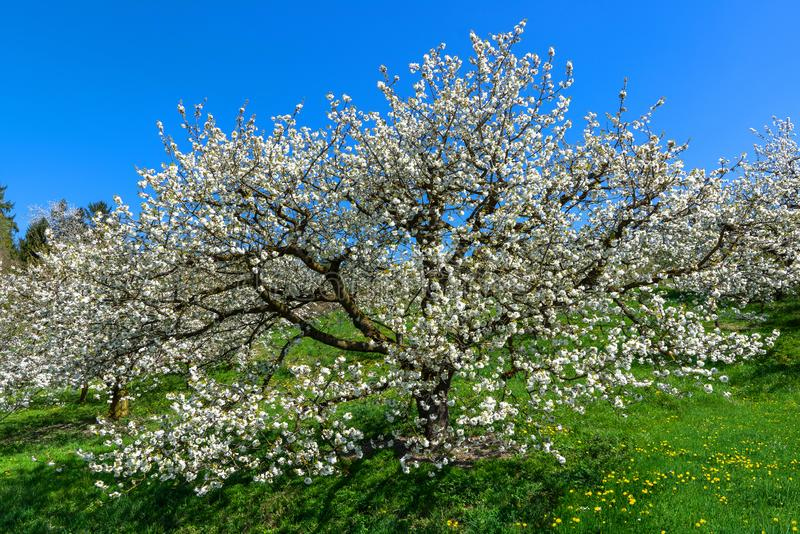 View into the treetop of a blooming cherry tree royalty free stock photos