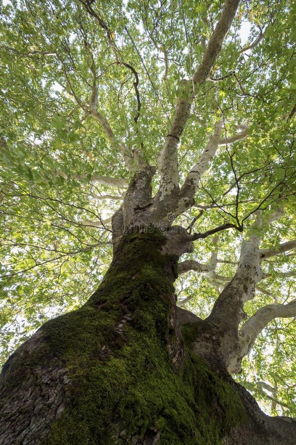 View through the treetop of a plane tree stock photo