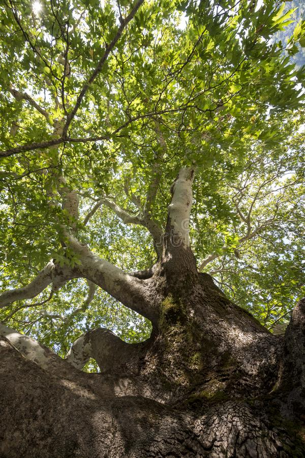View through the treetop of a plane tree royalty free stock image