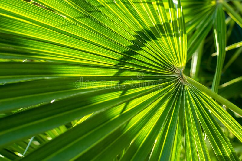 View of tropical green palm leaves. Nature summer concept.  stock photography