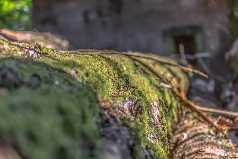 View of trunk in perspective, with moss detail in focus royalty free stock photo