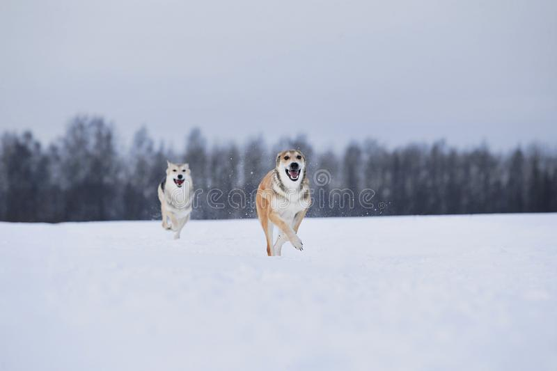View at two dogs playing and running to each other in a meadow stock photos