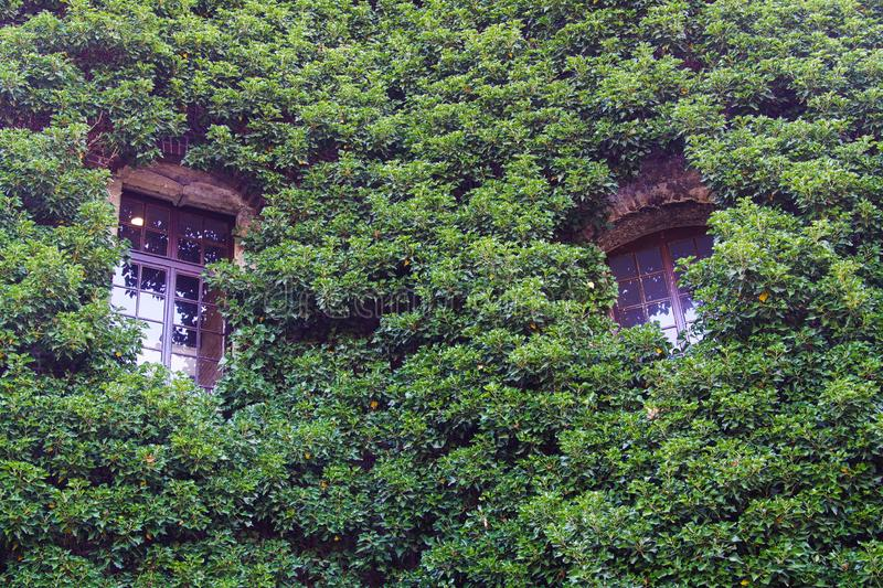 View on two isolated windows of building facade completely overgrown by green climbing plants. Brüggen, Germany royalty free stock photos