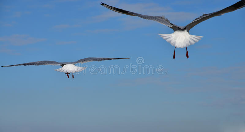 The view of two seabirds. Which fly over the blue sky royalty free stock image