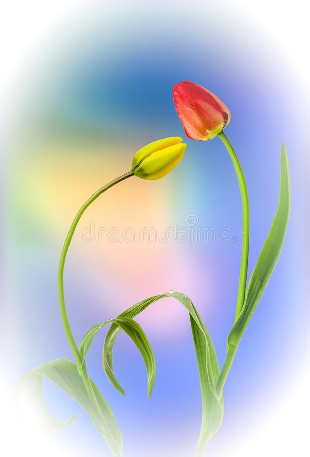 Diffused Tulips. A view of two tulips on a blue and yellow diffused background royalty free stock photography