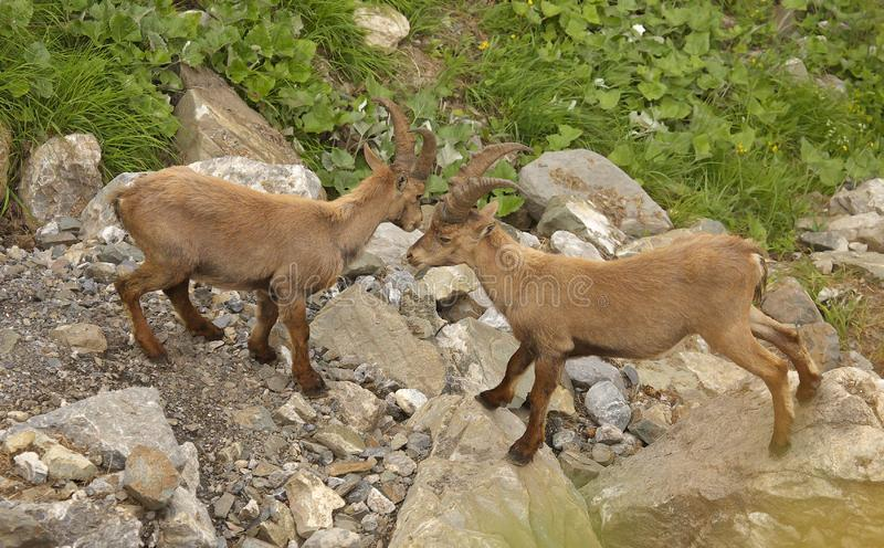 Two young males of alpine ibex, view from close-up. View of two young males of alpine ibex, view from close-up stock photography