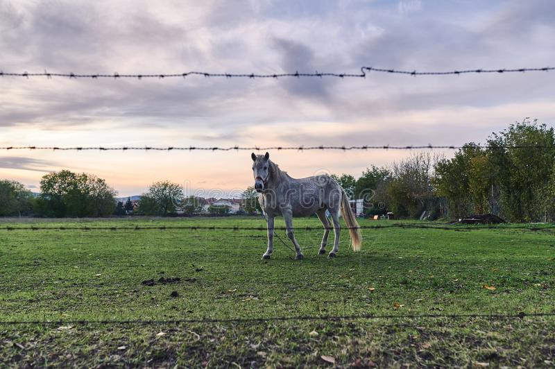View through an unfocused barbed wire fence of an old white horse tied with a chain. With a beautiful background sunset royalty free stock images
