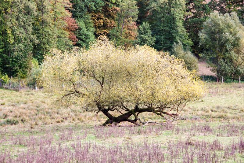 An unusually shallowly grown tree in autumn. View of an unusually shallowly grown tree in autumn royalty free stock image