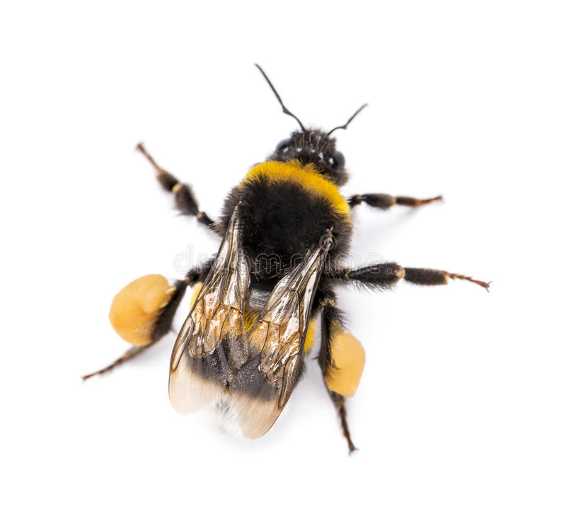 View from up high of a Buff-tailed bumblebee, Bombus terrestris. Isolated on white royalty free stock images