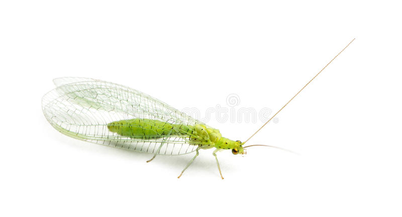 View from up high of a Common green lacewing, Chrysoperla carnea royalty free stock photo