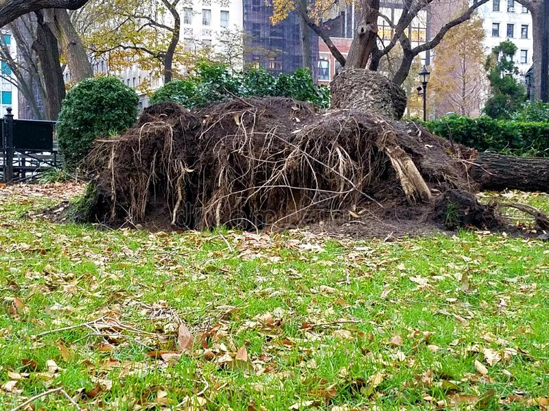 View of upended tree roots royalty free stock photo