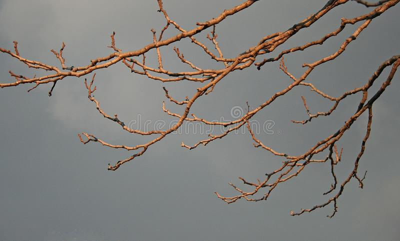 GOLDEN LIGHT ON DRY BRANCHES royalty free stock images