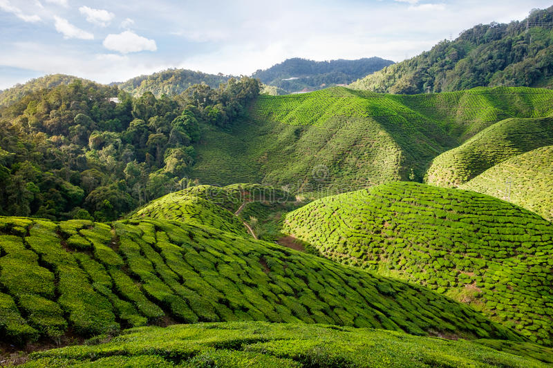 View of valley with tea plantations in Cameron Highlands royalty free stock image